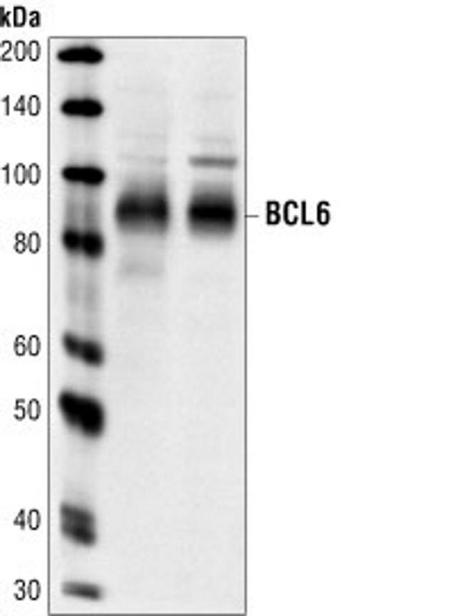 BCL6 Antibody (A16633) in Western Blot