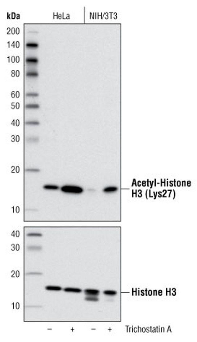 Acetyl-Histone H3 (Lys27) Antibody (A16641) in Western Blot