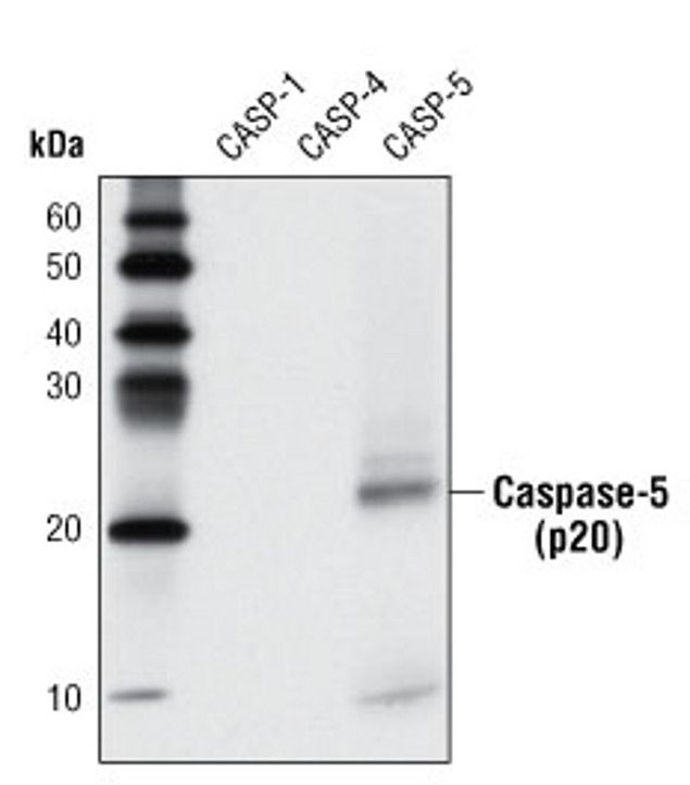 Caspase 5 Antibody (A16648) in Western Blot