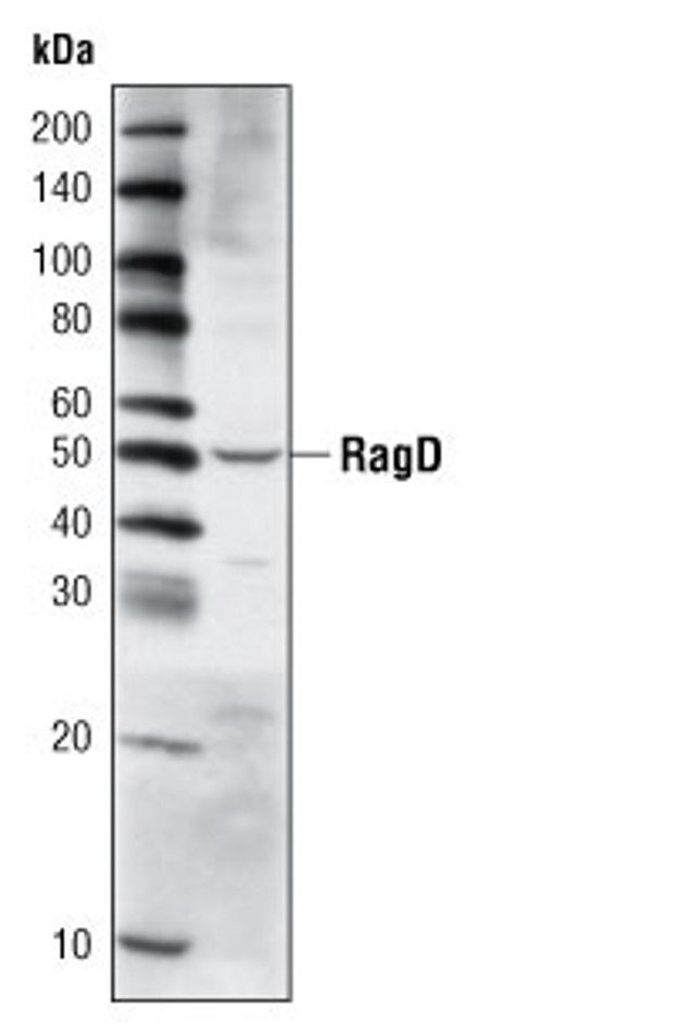 RRAGD Antibody (A16654) in Western Blot