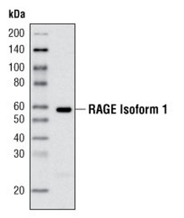 RAGE Antibody (A16668)