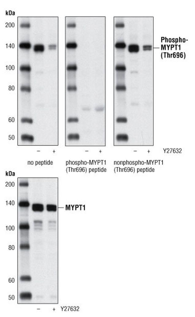 Phospho-MYPT1 (Thr696) Antibody (A16679) in Western Blot