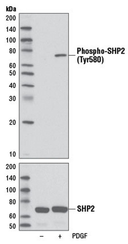 Phospho-SHP-2 (Tyr580) Antibody (A16691) in Western Blot