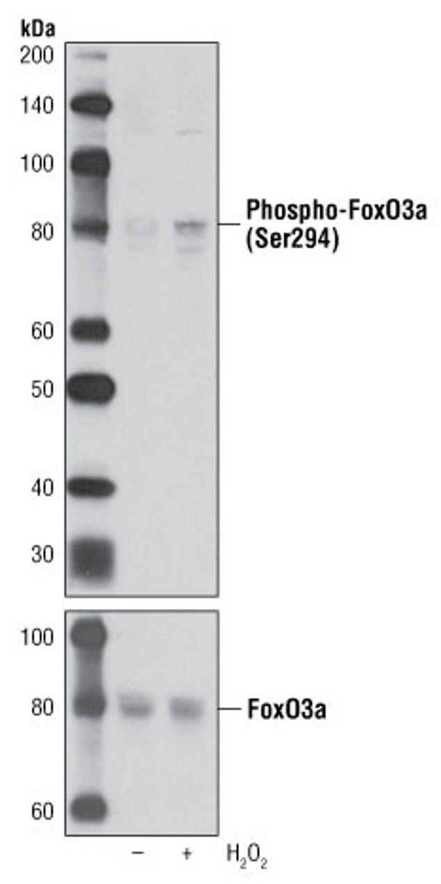 Phospho-FOXO3 (Ser294) Antibody (A16693)