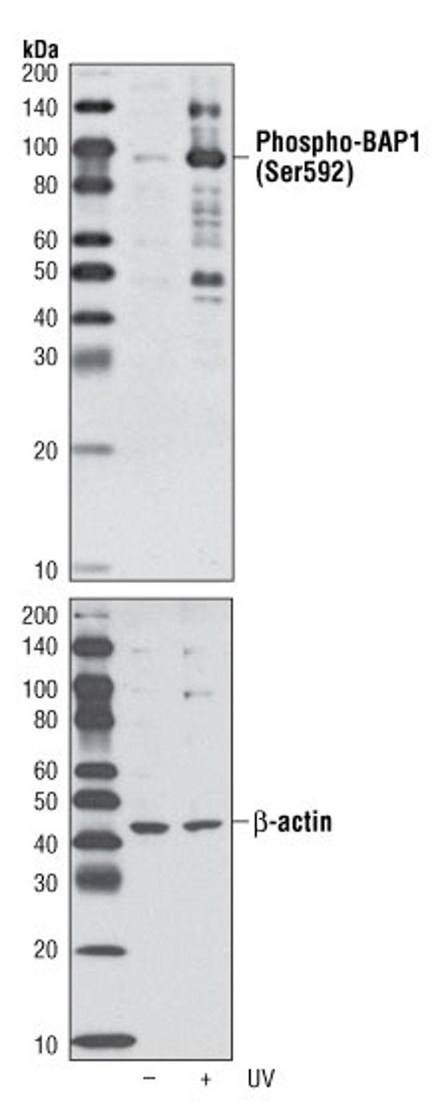 Phospho-BAP1 (Ser592) Antibody (A16714)
