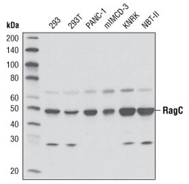 RRAGC Antibody (A16717) in Western Blot