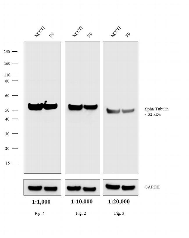 Rat IgG (H+L) Highly Cross-Adsorbed Secondary Antibody (A18748) in Western Blot