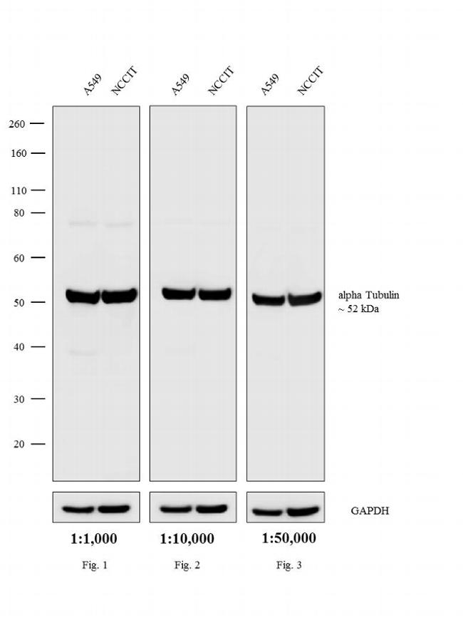 Rat IgG (H+L) Highly Cross-Adsorbed Secondary Antibody (A18749) in Western Blot