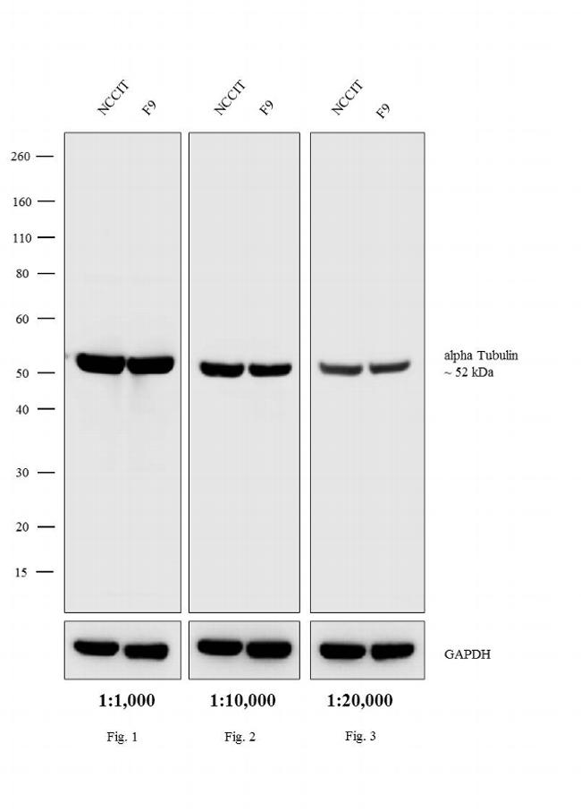 Rat IgG (H+L) Secondary Antibody (A18918) in Western Blot