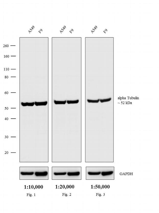 Rat IgG (H+L) Secondary Antibody (A18919) in Western Blot
