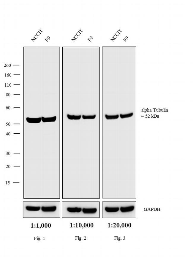 Rat IgG (H+L) Cross-Adsorbed Secondary Antibody (A18921) in Western Blot