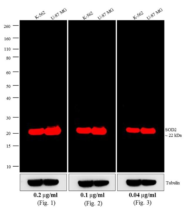 Mouse IgG (H+L) Cross-Adsorbed Secondary Antibody (A-21036) in Western Blot