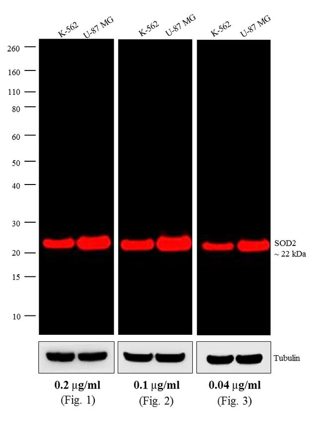Mouse IgG (H+L) Cross-Adsorbed Secondary Antibody (A-21057) in Western Blot