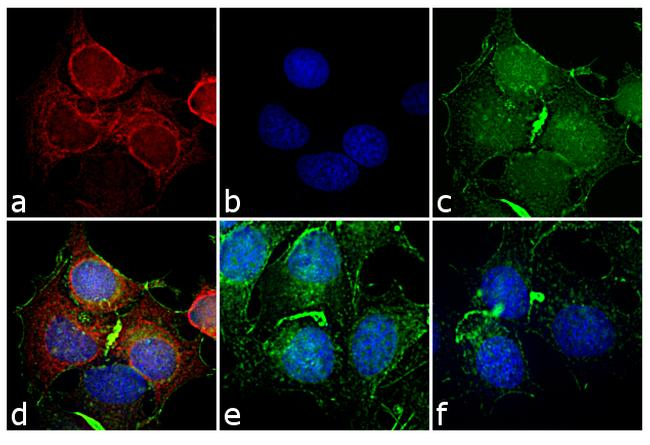 Mouse IgG2a Cross-Adsorbed Secondary Antibody (A-21133) in Immunofluorescence