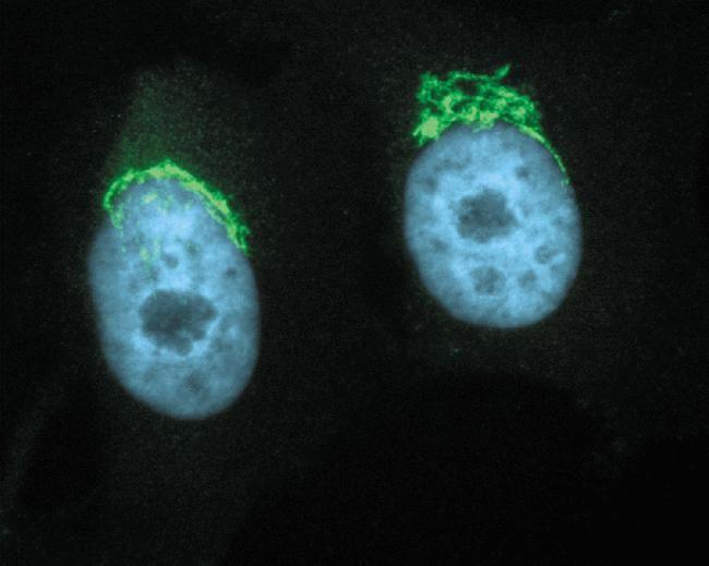 Golgin-97 Antibody (A-21270) in Immunofluorescence