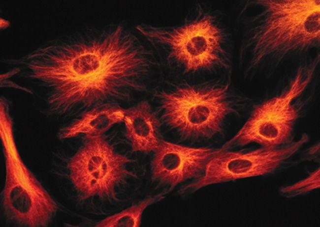 HuC/HuD Antibody (A-21271) in Immunofluorescence