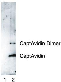 Nitrotyrosine Antibody (A-21285) in Western Blot