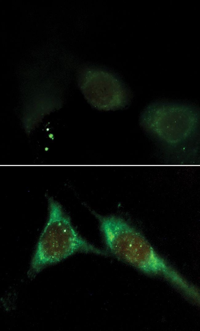 Phosphatidylinositol 3,4,5-trisphosphate Antibody (A-21328) in Immunofluorescence