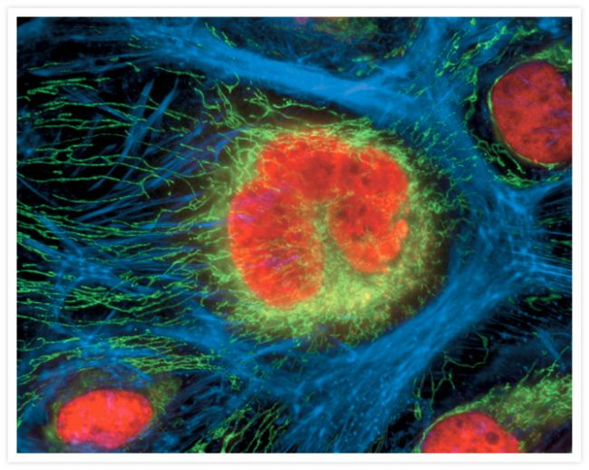 ATPIF1 Antibody (A-21355) in Immunofluorescence