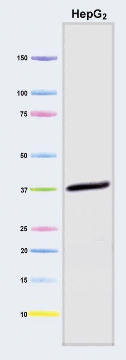 GAPDH Antibody (A21994) in Western Blot