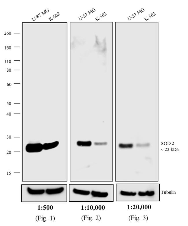 Mouse IgG (H+L) Secondary Antibody (A24500) in Western Blot