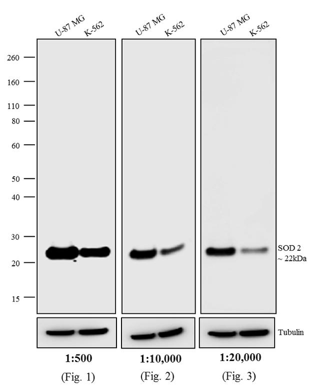 Mouse IgG (H+L) Highly Cross-Adsorbed Secondary Antibody (A24506) in Western Blot