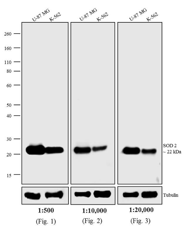 Mouse IgG (H+L) Highly Cross-Adsorbed Secondary Antibody (A24509) in Western Blot