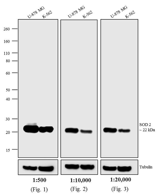 Mouse IgG (H+L) Secondary Antibody (A24512)