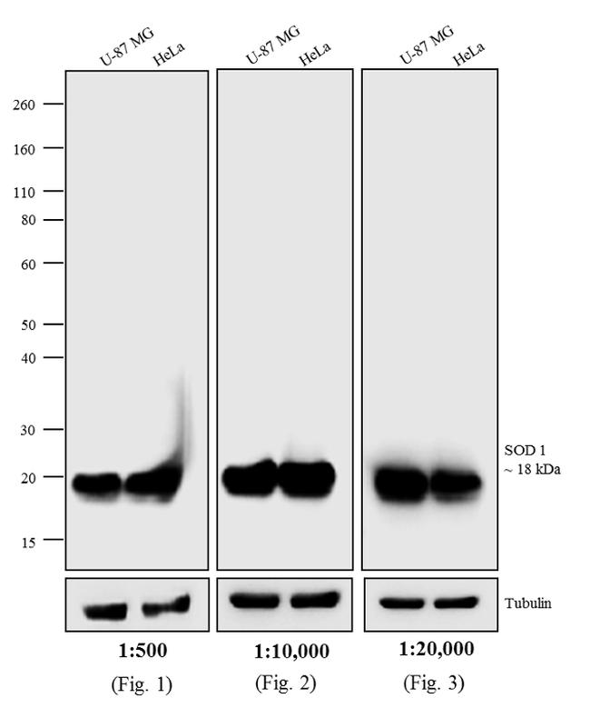 Mouse IgG (H+L) Secondary Antibody (A24515) in Western Blot