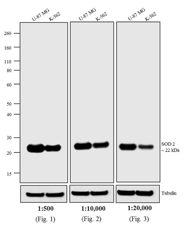 Mouse IgG (H+L) Highly Cross-Adsorbed Secondary Antibody (A24522) in Western Blot