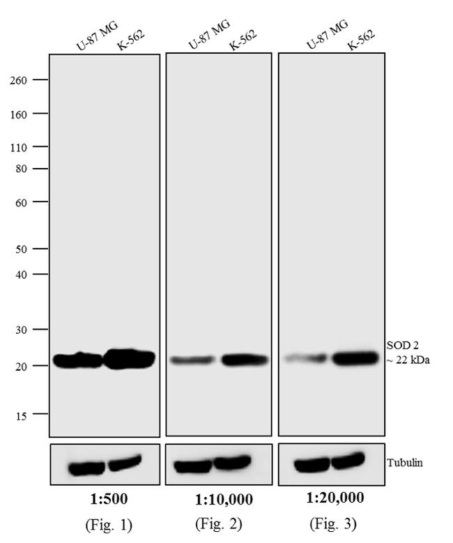 Mouse IgG (H+L) Cross-Adsorbed Secondary Antibody (A24524) in Western Blot