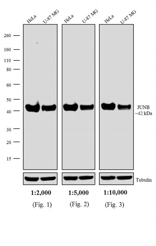 Rabbit IgG (H+L) Secondary Antibody (A24531)