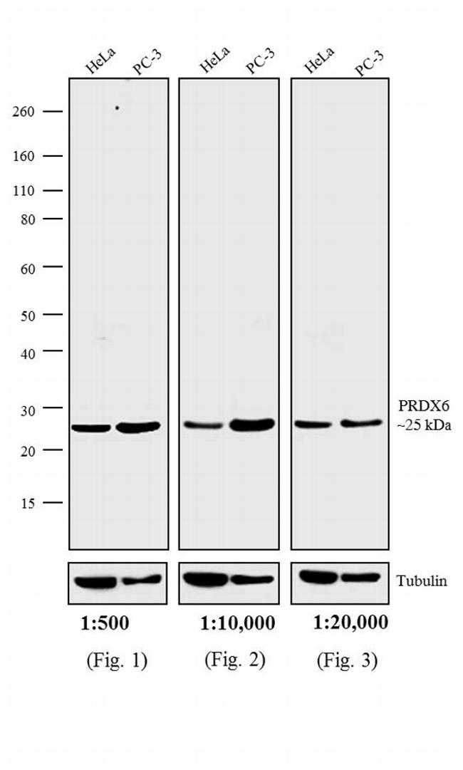 Rabbit IgG (H+L) Secondary Antibody (A24534) in Western Blot