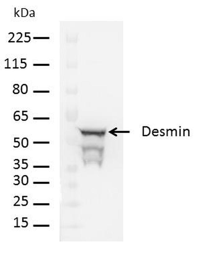 Rabbit IgG (H+L) Cross-Adsorbed Secondary Antibody (A24537)