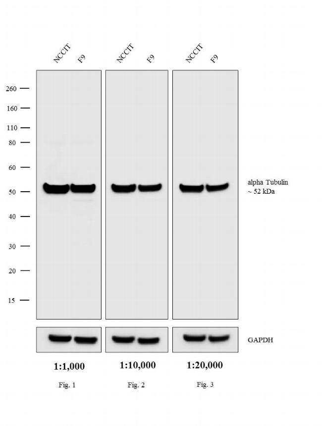 Rat IgG (H+L) Cross-Adsorbed Secondary Antibody (A24549) in Western Blot