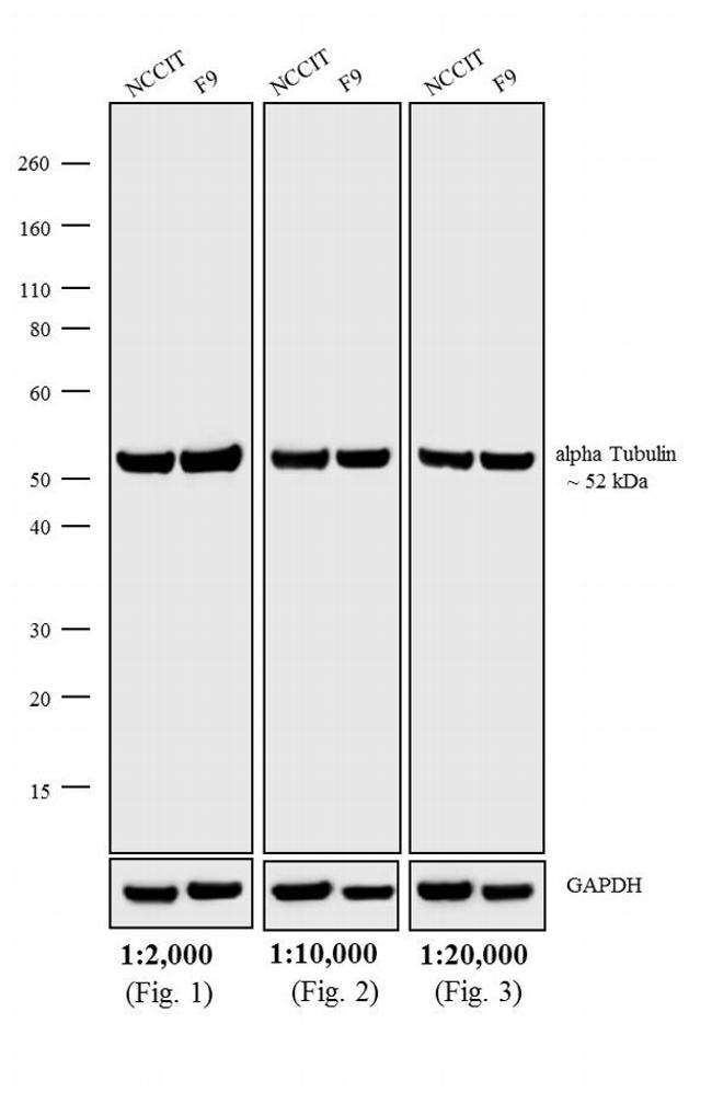 Rat IgG (H+L) Cross-Adsorbed Secondary Antibody (A24552) in Western Blot