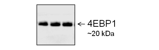 Goat IgG (H+L) Secondary Antibody (A27011) in Western Blot