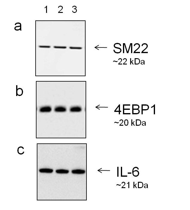 Goat IgG (H+L) Secondary Antibody (A27014) in Western Blot