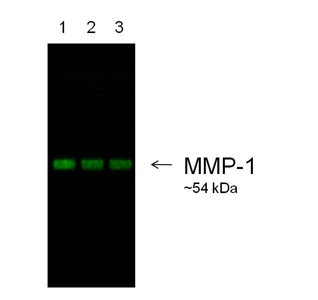 Goat IgG (H+L) Secondary Antibody (A27019)