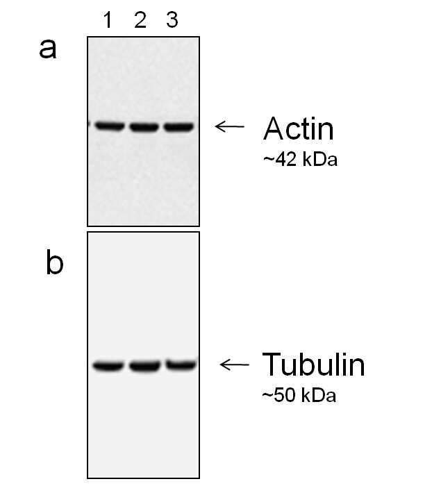 Mouse IgG (H+L) Secondary Antibody (A27024) in Western Blot