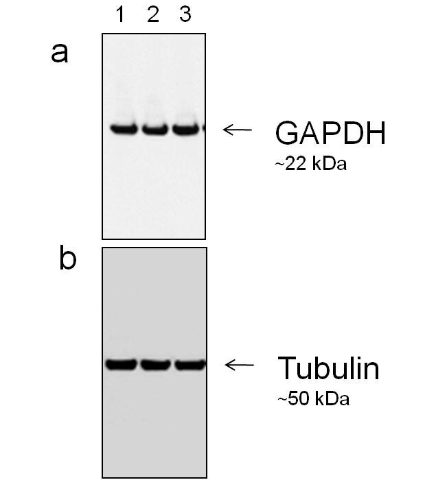 Mouse IgG (H+L) Secondary Antibody (A27025)
