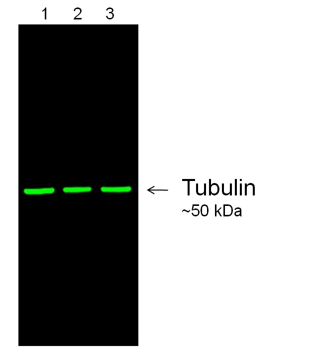 Mouse IgG (H+L) Secondary Antibody (A27030)