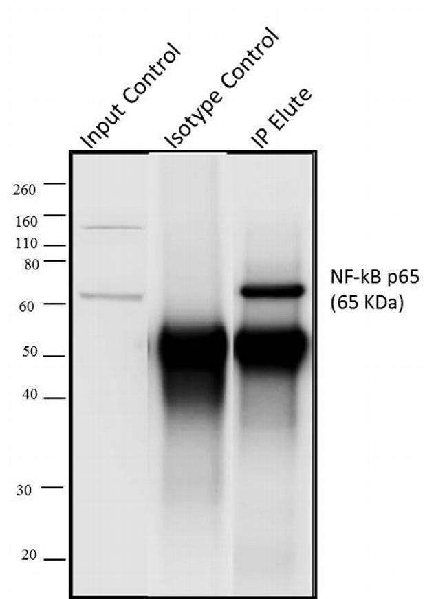 Rabbit IgG (H+L) Secondary Antibody (A27036) in Immunoprecipitation