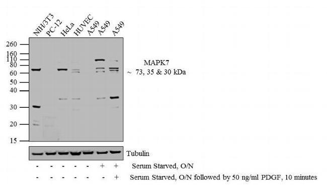 Rabbit IgG (H+L) Secondary Antibody (A27036) in Western Blot