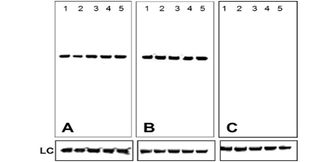 Mouse IgG (H+L) Secondary Antibody (A28174) in Western Blot