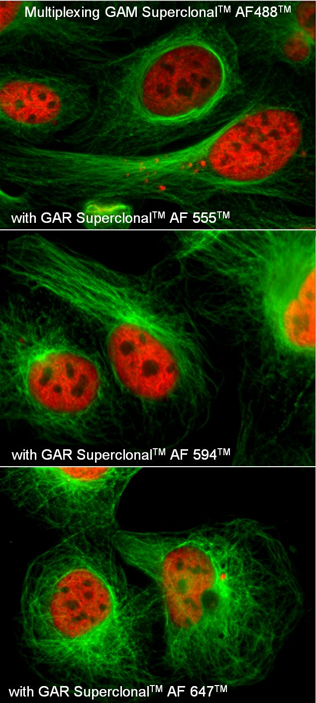 Mouse IgG (H+L) Secondary Antibody (A28175) in Immunofluorescence