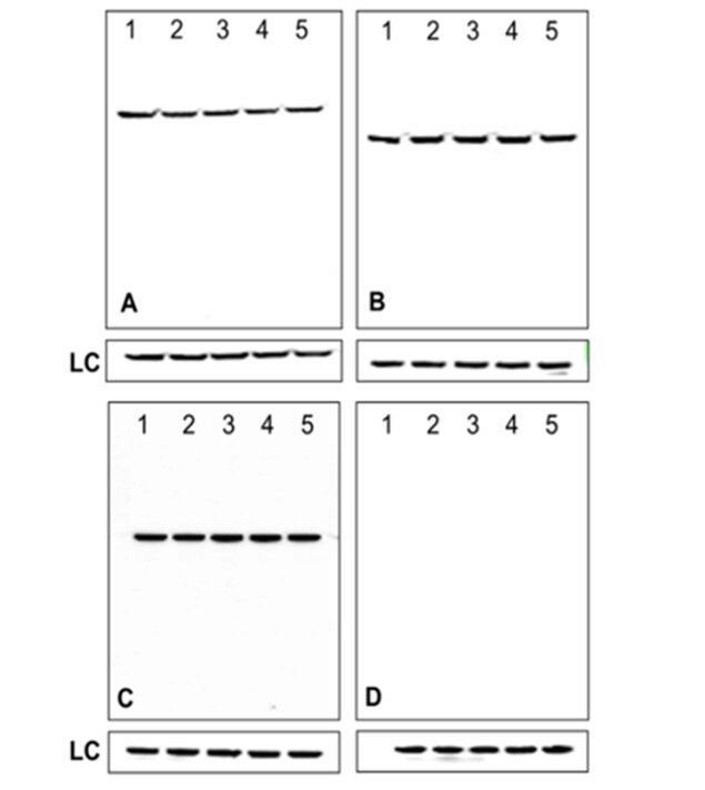 Mouse IgG (H+L) Secondary Antibody (A28177) in Western Blot