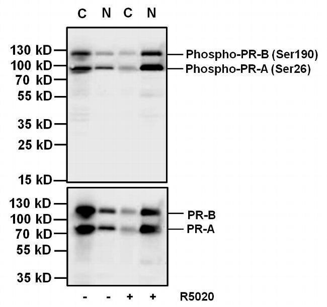 Mouse IgG (H+L) Secondary Antibody (A28177)