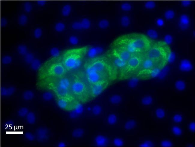 AFP Antibody (MIA1301) in Immunofluorescence