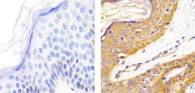 alpha Synuclein Antibody (AHB0261) in Immunohistochemistry (Paraffin)